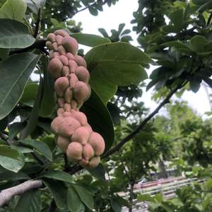这是什么树的果实?是变异了吗?