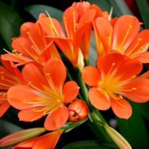 """君子兰""""夹箭""""不要怕,做好这几点,花开的硬挺叶子还油绿!"""
