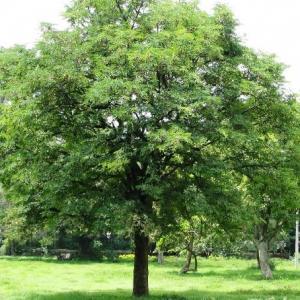 How to Grow Tamarind Tree   Growing Tamarind