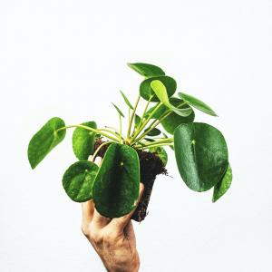 How to grow Pilea peperomioides