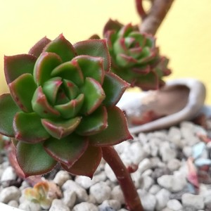 What is the name of this succulent?