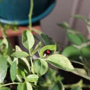 月季伴侣喷洒,发现一只瓢虫