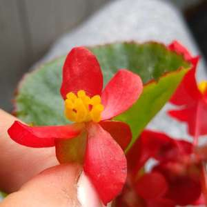 Help with ID please!  What kind of begonia is it? or maybe you can recommend some keys to look at? thank you