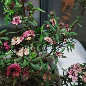 不知道这个松红梅怎么了,才养了个把月就这样蔫了,隔两三天就给它浇水的,也施了点点肥,怎么就变这样了呢?怎么才能活下去