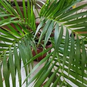 这是棕榈科的什么啊。