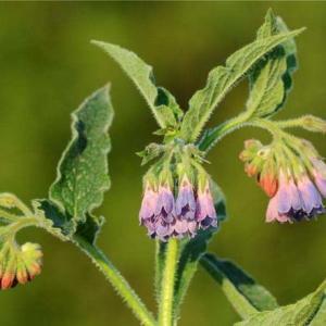 草坪类病害:聚合草立枯病