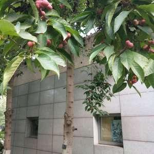 这是啥树?