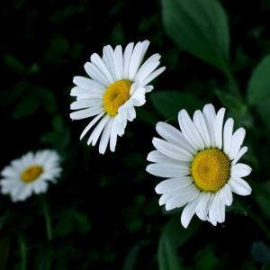 How to Grow Becky Shasta Daisies