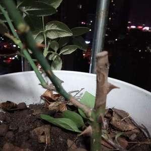 帮忙看一下我这颗月季怎么了,是买的那种扦插苗,上面的桩会不会一直干下去哟,而且是不是长虫了呀 #月季