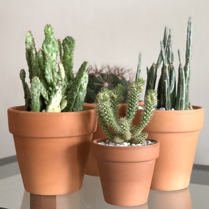 Cactus looks so good in unglazed terracotta pots don't you think?