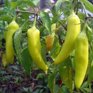 How to Tell When Banana Peppers Are Ripe