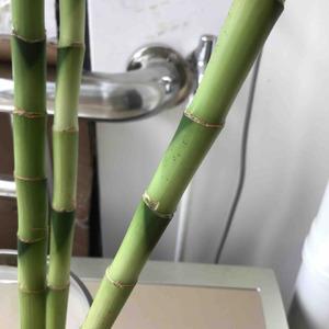 想问一下大家,我的富贵竹是生病了吗