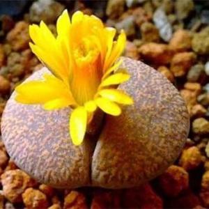 生石花怎么养长得快