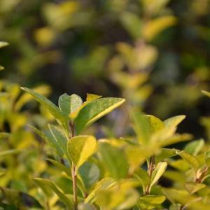 金叶女贞叶子上长斑点怎么办