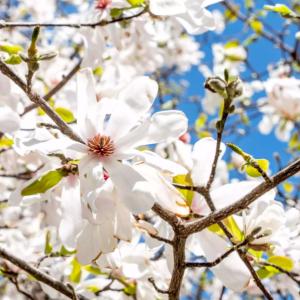 How to Grow Anise Magnolia