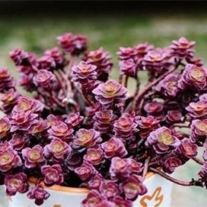 小球玫瑰可以水培吗,可插入水中重新生根