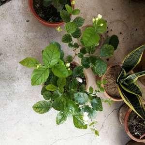 图1是我扦插的3盆大叶栀子花,中间那盆正常,另外两个叶片颜色不正常。图二是小叶栀子,叶片颜色也不正常。图三是合拍。图四是茉莉,这两天发现叶片也不正常。图五图六分别是李子和梨,叶片一直打卷。浇水正常,现在盆土下层还潮湿着,两星期一次施肥,三元复合肥和硫酸亚铁,栀子花用的磷酸二氢钾。应该不是缺铁,求大神指点