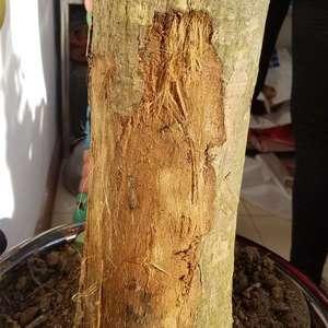 求助,求助。发财树这样了,怎么救治下,先感谢大家了