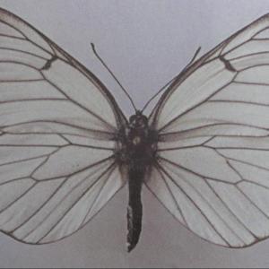 果树类虫害:山楂粉蝶