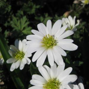 Anemone (Windflower) Plant Profile