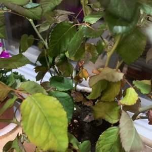 求救,上上周从花店买了一盆月季,回来后用那种液体肥透浇了一次,半个月过去了,原来开放的花全焉了,中间有一次叶片都开始焉了,我浇了一次水第二天就好了,现在发现又从底下开始焉了,而且好像快死了那种焉,还有发黄,这怎么办啊?是哪里出了问题呢?有什么抢救措施吗?花我放在阳台,光照很充足。也通风,求助啊……
