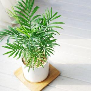 How to Grow and Care for Bamboo Palms