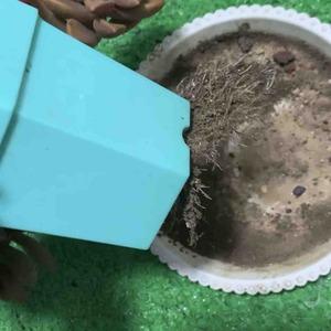 为什么根都长成这样?这种情况是不是必须换盆土了? #多肉