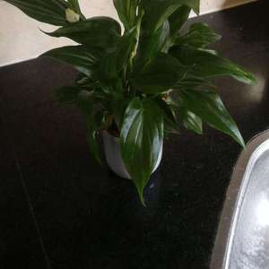 Cupido spathiphyllum