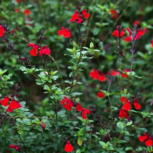 How to Grow Autumn Sage