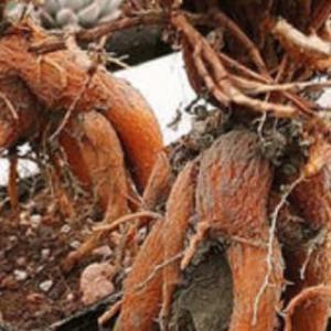 姬红小松的根怎么养大