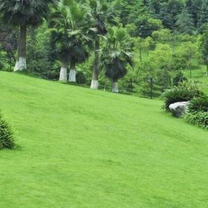 草坪类病害:草坪褐斑病