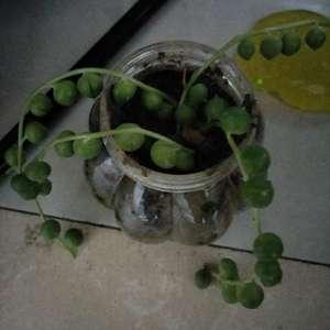 翡翠珠的种子怎么繁殖