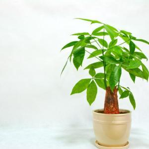 """发财树养养就""""烂根"""",用消毒水一泡,枝叶能长更健壮!"""
