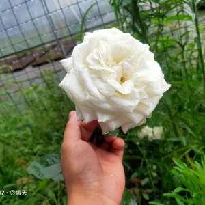 自己家大棚种植的月季花。