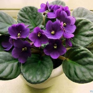 紫罗兰小盆栽种植方法