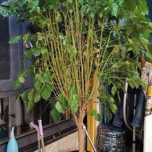 我家的幸福树 一碰就掉叶子,大片大片的掉,有的叶子,还会发黑,这是什么原因?