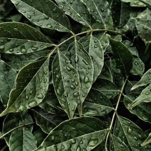 Plants Fasciation