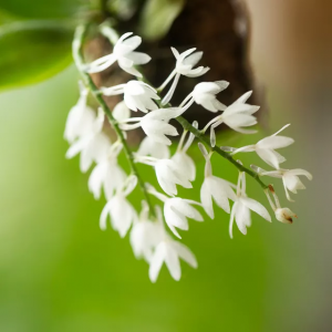 How to Grow Aerangis Orchids