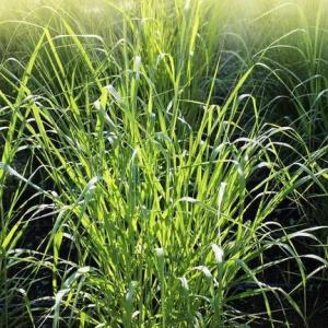 草坪类病害:禾草细菌性萎蔫病