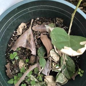 去年10月份网上买的三角梅 状态是不断长枝叶 到了冬天开始落叶 根枝干枯 请路过的花友们帮我看看她还是活的吗 ,帮我指教指教吧