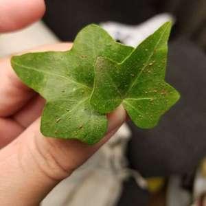 常春藤,很多叶子上出现褐色点点,是虫卵吗?