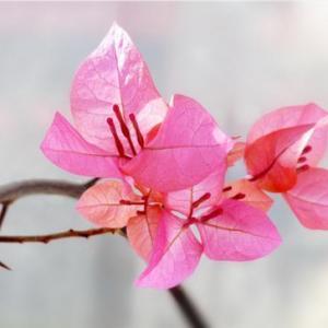 三角梅在秋天总徒长不开花?注意这3点,30天长出小花苞
