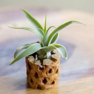 How to Grow Tillandsia Cacticola
