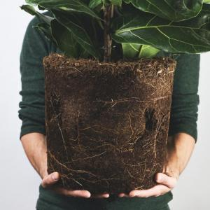 How to Water, Feed, and Care for a Ficus Tree