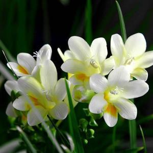 香水兰的养殖方法和注意事项