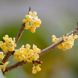一根枝条,一个花盆,在家自己种桂花,不花钱也能嗅花香