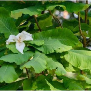 How to Grow Bigleaf Magnolia