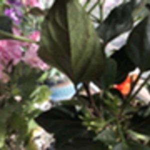 求大神 朱瑾(扶桑)叶子上长斑点了是什么原因 应该如果救助 帮帮孩子 鞠躬🙇🏻♀️