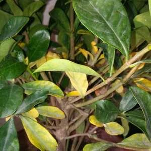 栀子花叶子从下慢慢往上一层一层的黄是怎么回事,请赐教