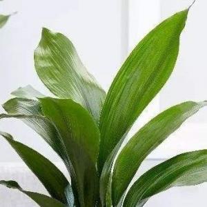 一叶兰的种植要领